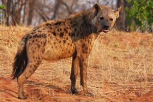 hyena_2_300x200