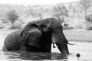 one_elephant_in_water_300x200