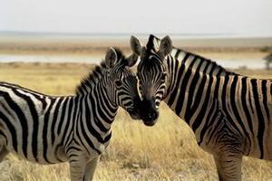 zebras_300x200