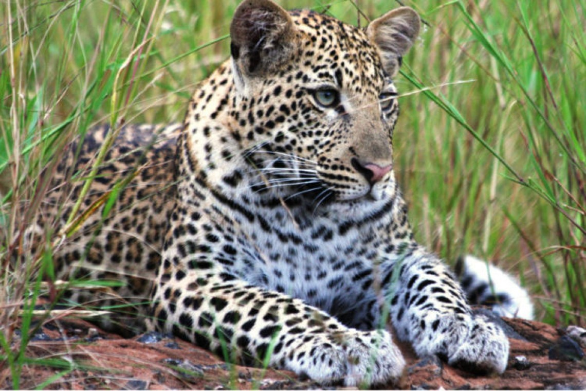young_leopard